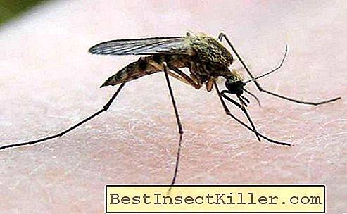 Komar-peekun - an obsessive insect that prevents sleep at night