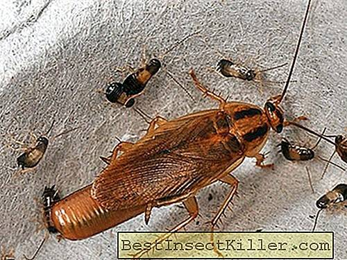 Fighting cockroaches - How to get rid of cockroaches in the apartment forever