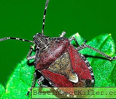 Bedbugs - Berry bug