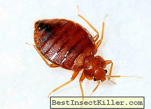 What are home bed bugs afraid of?