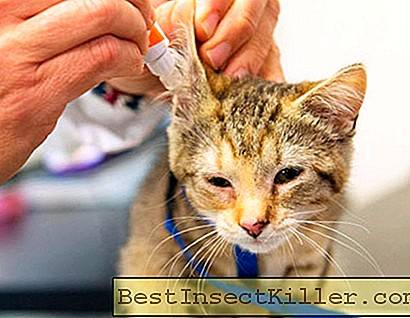 Ear mite in cats - symptoms, treatment of otodectosis
