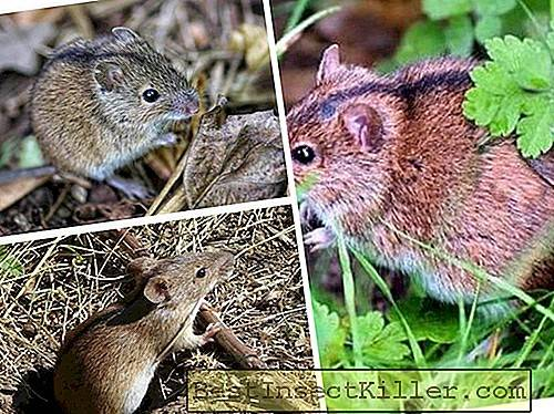 Field mouse - photo et description