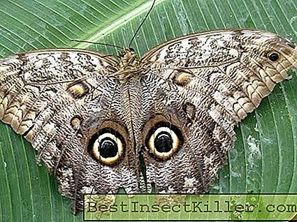 Butterfly owl - a tropical miracle of disguise