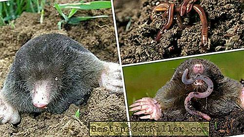 How to deal with moles in the suburban area with folk remedies