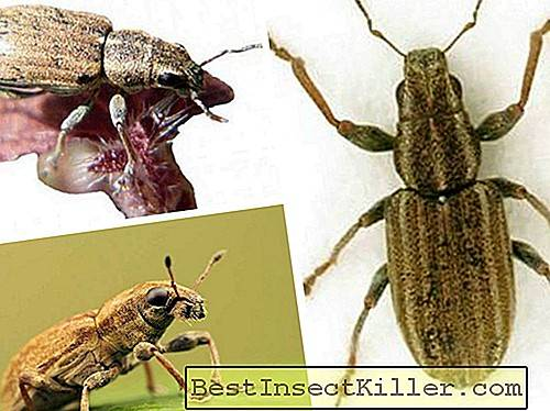 Other insects - Nodule weevil bristly: description and control measures