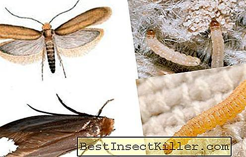 Clothes and furniture moth: features and differences