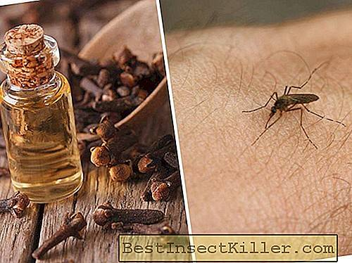 Carnation oil from mosquitoes - how to apply, reviews