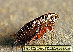 The causes of the appearance of earthen fleas in the house and how to get rid of bloodsucking parasites on their own